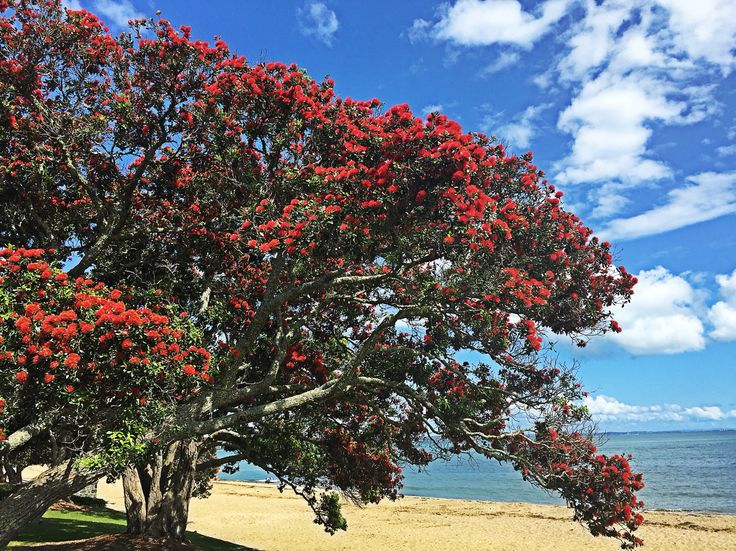 The Pohutukawa tree or New Zealand Christmas tree is in full blossom at the moment. Looking forward to the latest batches of Pohutukawa honey!