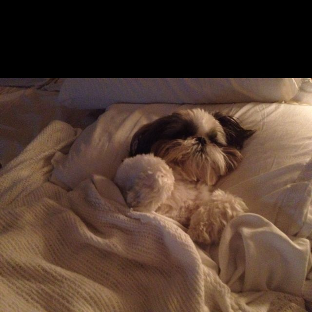 Sweet dreams Shih tzu!