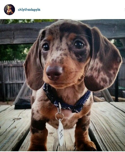Chip Chevy mini dapple dachshund