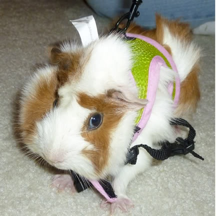 Marshsmallow on a leash. All pets need exercise!: 4 Month Old, Spesial Mensing, Die Spesial, Marshsmallow Moeshi, Vir Die, Domestic Animal, Guinea Pigs