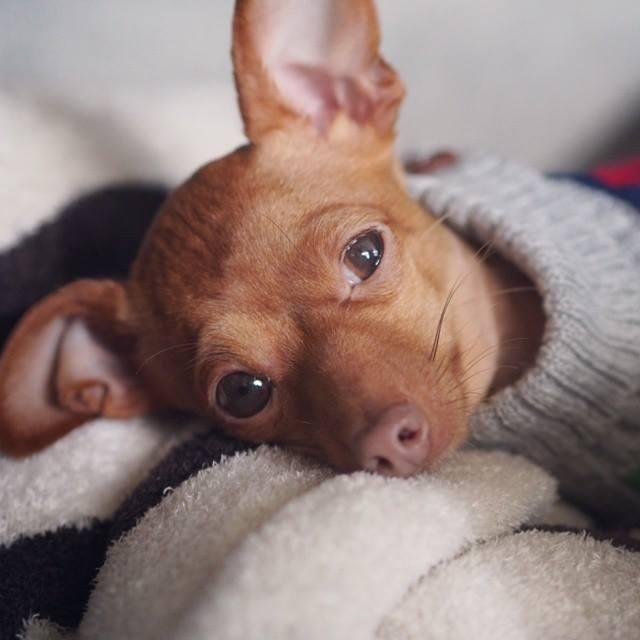 Razones por las qué tiemblan los perros