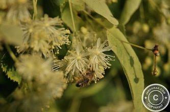 #Cosmos in the #Garden - Linden #Flowers #Tea #Recipe - #gardening #flower #recipes #kitchen #nature