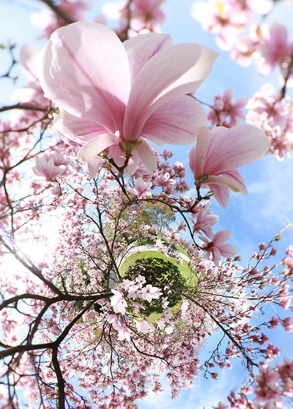 Magnolias Little Planet Stereographic Panorama