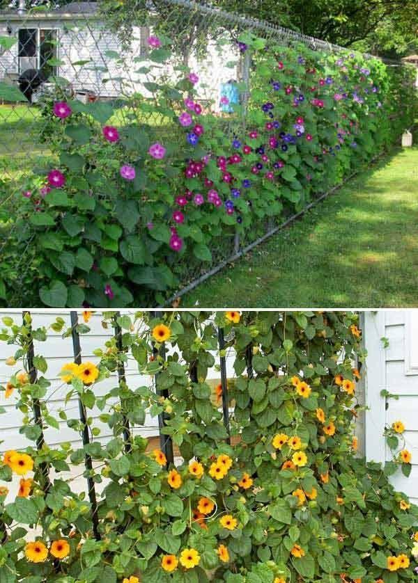 Bunte Pflanzenwände wie Morning Glory und Blackeyed Susan Vine bieten