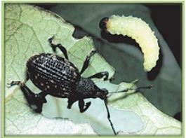 Profi-Tipp: Dickmaulrüssler-Larven im Herbst bekämpfen HM-Nematoden parasitieren die Larven der Schädlinge