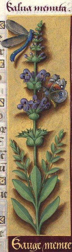 Sauge menue - Salva menuta (Salvia officinalis L. = sauge officinale) -- Grandes Heures d'Anne de Bretagne, BNF, Ms Latin 9474, 1503-1508, f°99r