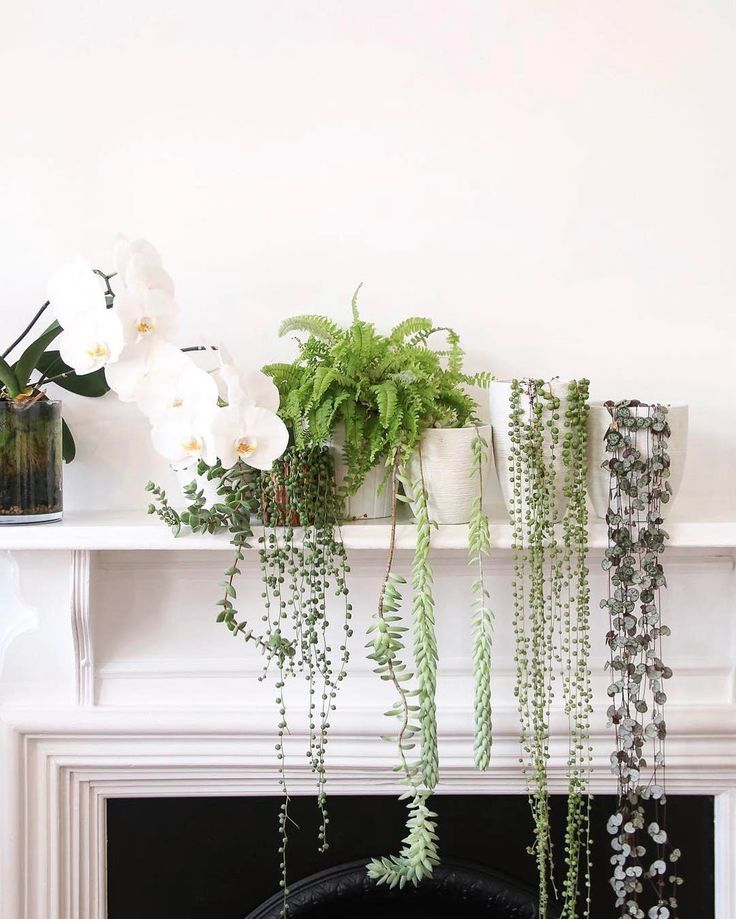 This mantel laden with plants showcases some of our very favorite cascading specimens: string of hearts, string of pearls, burro's tail and string of buttons (from right to left)