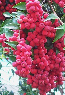 Riberry / Lilli Pilli /Syzygium luehmannii - Wikipedia, the free encyclopedia