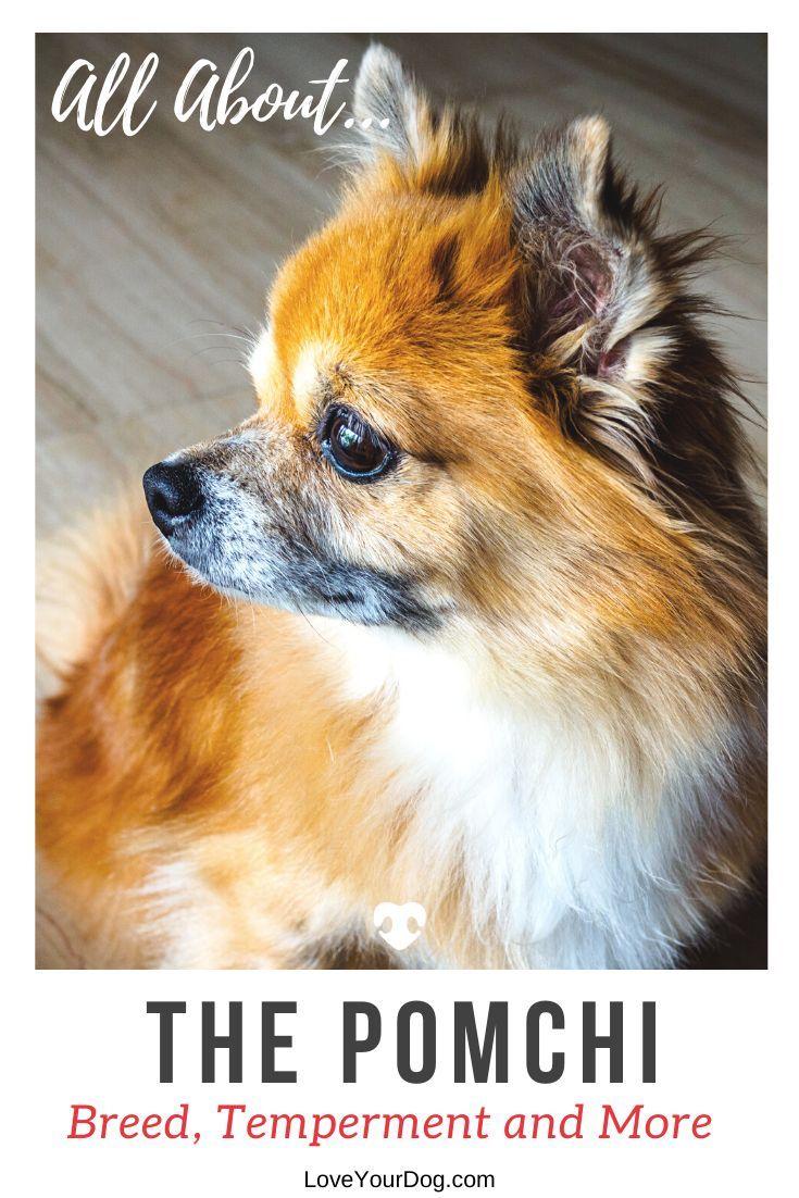 Pomeranian Chihuahua Mix Pomchi Breed Information Puppy Costs In 2020 Pomeranian Chihuahua Mix Pomeranian Chihuahua Chihuahua Mix