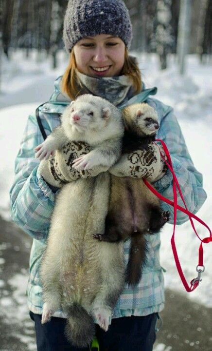 (Male ferrets are much larger than females, but this male ferret is huge!)  * * YOU'RE OVER FEEDING THE HUGE MALE.