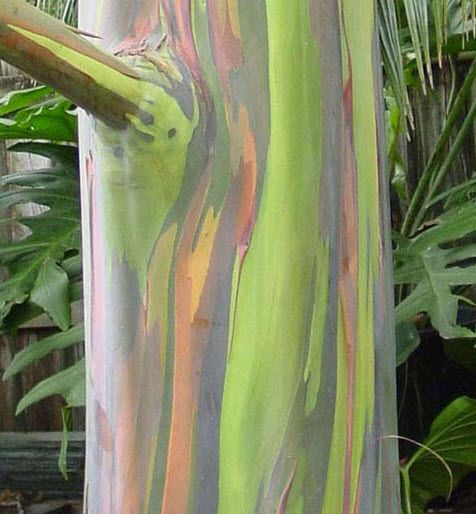 """""""Eucalyptus deglupta (Rainbow Eucalyptus) hails from the rainforests of Mindanao, which is the southernmost and easternmost island in the Philippine island group."""""""