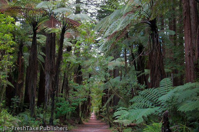 A photo of tree ferns taken from the Redwood forest in Rotorua, New Zealand