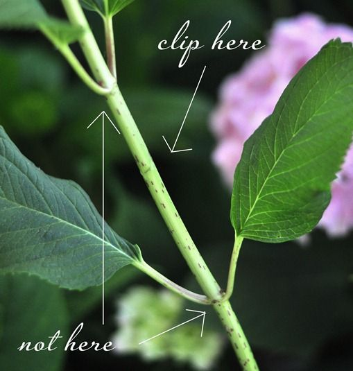 hydrangeas and how to prune, cut for bouquets, etc.