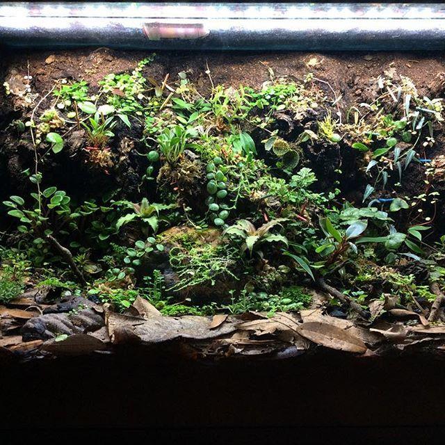 Added some cryptanthus  #nature #amphibian #vivarium #terrarium #paludarium #aquarium #terrascape #plants #liveplants #green #verdant #cryptanthus #naturalistic #enclosure #tank #led #poison #dart #frog #habitat #bioactive #springtails #orchids #orchid
