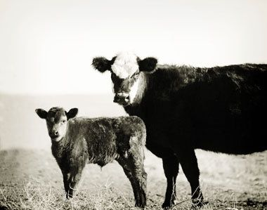 Mamma and Baby - Cow and calf photo - Cow photo - Cow photography - Country photo - Country decor - Cow decor - New Mexico decor. $41.00, via Etsy.