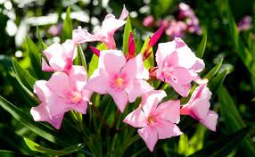 Nerium splendens dwarf/compact pink single Oleander. Evergreen small hardy shrub. Clusters of magnificent rose-pink flowers from spring into autumn. Leaves and flowers poisonous to eat but not to touch. H to 1.2 mtrs x W to 1 mtrs. Full sun to part shade. Frost and drought hardy, Easy to grow. [...]