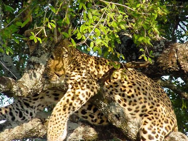 Fun Facts About Leopards | Article date: 2-25-13