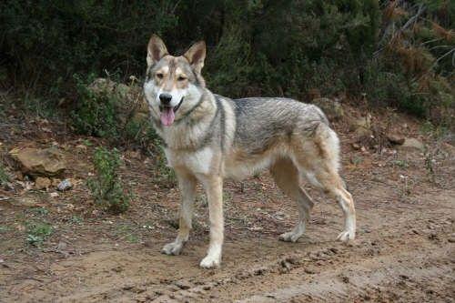 O Sarloos Wolfhound é uma raça  de cão . Tem origem holandesa  datada de 1921 . É um híbrido  de pastor alemão  macho  com o lobo asiático ...