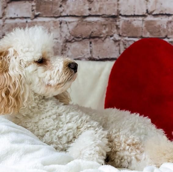 How Often To Bathe A Poodle And Groom Them Winston Poodles