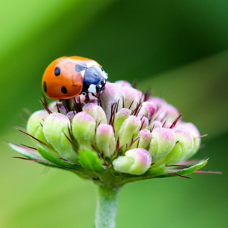 Here are some fabulous and fascinating facts about ladybugs, a popular garden carnivore. Did you know, there are about 5,000 species of ladybugs in the world and not all of them are red with black spots?