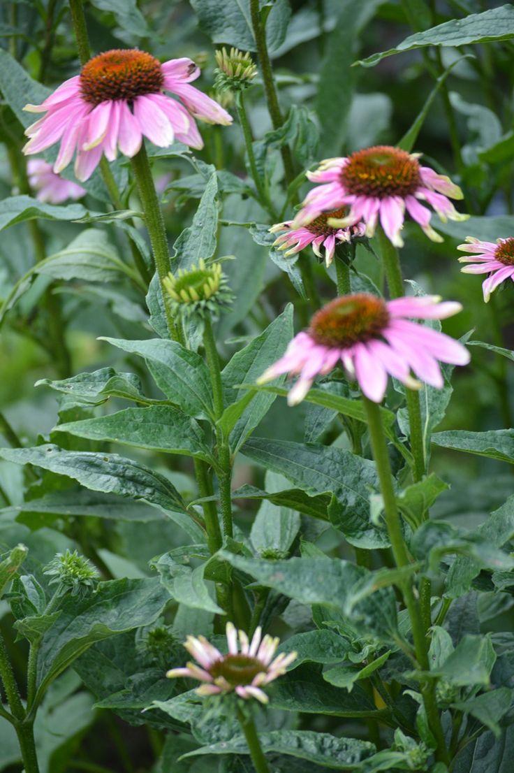 Physic garden wikipedia - Echinacea Purpurea In The Garden