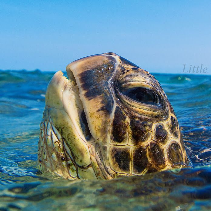 evolution of the sea turtle Why turtles evolved shells: it wasn't for protection  with these fossils, scientists could reconstruct the evolution of the shell first, the lower ribs became wider and fused with each other.