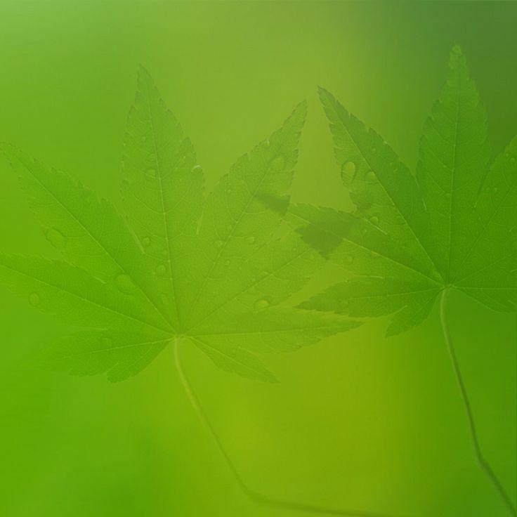 Artículo acerca de los distintos tipos de semillas de marihuana valencia que ofrecemos en nuestro growshop.
