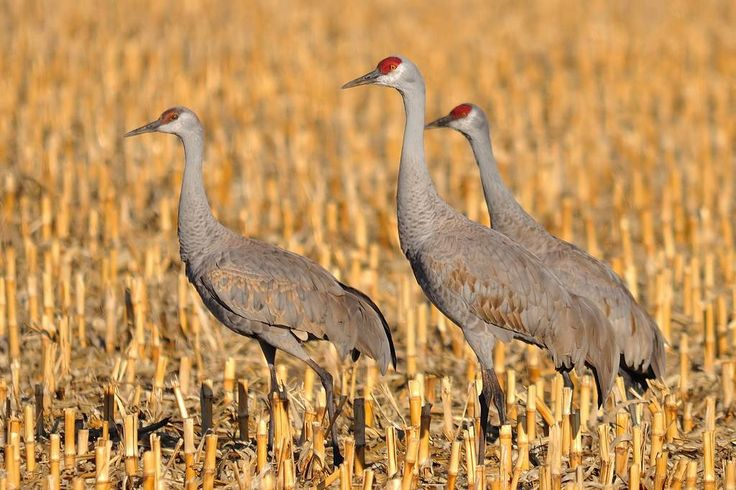 It Was Twilight And Sandhill Cranes >> 42 best sandhill cranes images on Pinterest | Crane, Herons and Animal kingdom