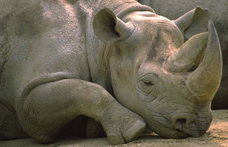 Rhino-Horn why is it so valuable?