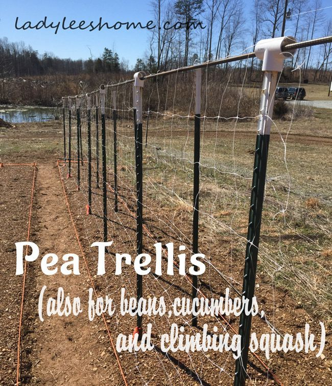 Setting up pea trellis in the field. This trellis will also be good for beans, cucumbers, and climbing squash. Easy and affordable construction. #LadyLeesHome