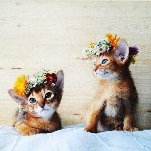 Okay. Flower girls are ready! cat cats kitties flower crown gato gatos gatinho gatinhos fofo cute