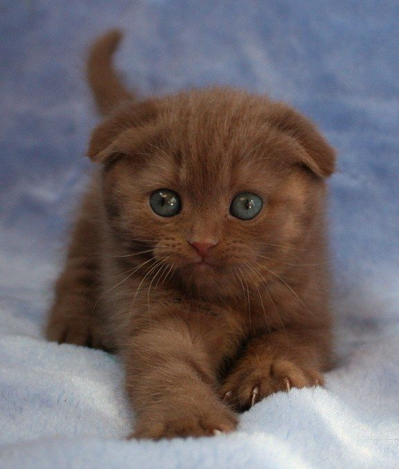 Scottish Fold...nutmeg