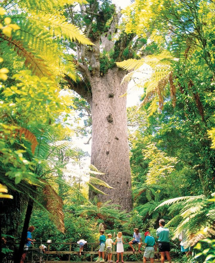 """Tane Mahuta"" in the Waipoua Forest of New Zealand, is the largest known living Kauri tree"