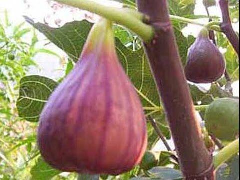 Le figuier : culture, plantation, entretien, taille, récolte etc..