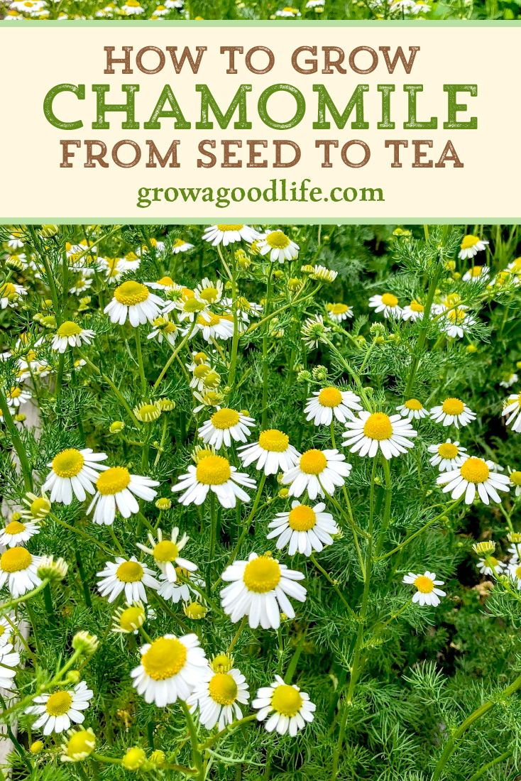 Growing Chamomile For Tea Chamomile Growing Planting Herbs Chamomile Plant