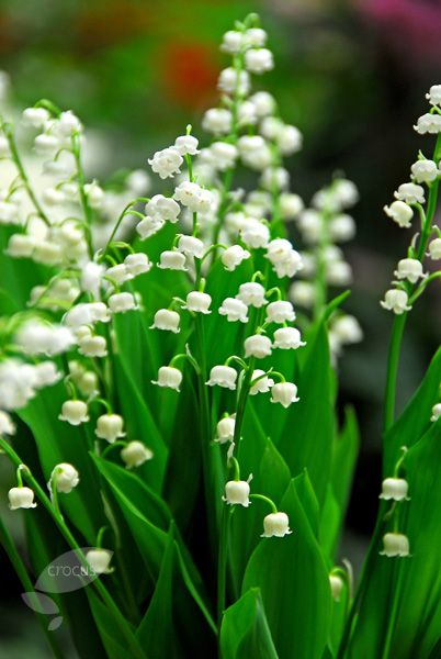 Buy lily-of-the-valley Convallaria majalis: Delivery by Crocus