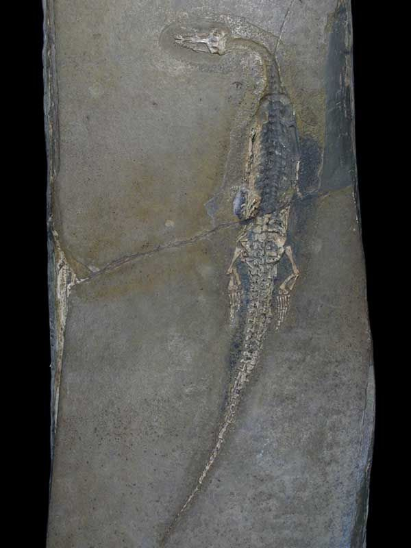 Holotype of the Neusticosaurus Edwardsii - Museum of Natural History in Milan