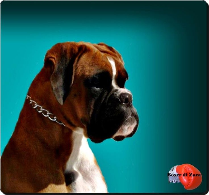HavenWoods Boxers Top Quality AKC German (European) and American Boxers. Based in Central Ohio, Health Tested parents. Breeding for Health, Quality, Confirmation, Temperament, Working Ability. Puppies available. Boxer puppies for sale.Working Boxers