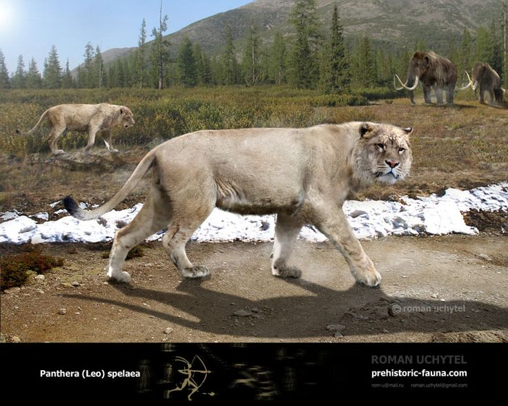 """8W. Photo: """"Panthera-Leo-spelaea"""" -- [Creb said,] """" 'Spirit of Cave Lion, the girl, Ayla, is delivered into your protection.' ...The idea of taking the strange child into the clan had been difficult enough, but this totem of hers was too much. It was irregular, unconventional; Brun didn't like anomalies in his well-ordered clan... There would be no further deviations. If the girl was to be a member of his clan, she would conform, Cave Lion or no Cave Lion."""" p.89-90"""