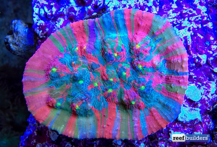 No matter how you look at the new Aquatic Art Splatoon Chalice coral, its color and pattern is really bordering on truly unbelievable. If we hadn't seen an