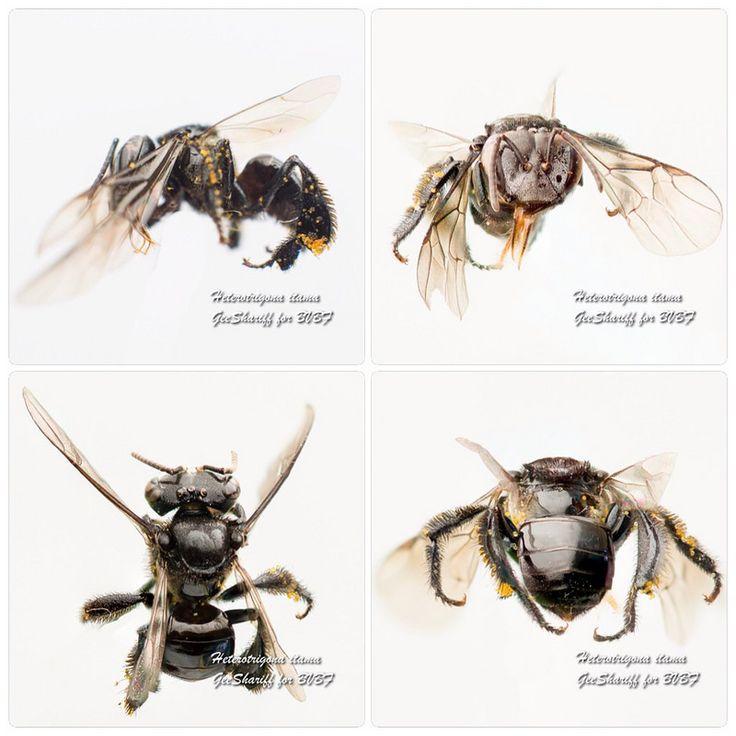 Heterotrigona itama - Meliponine / Stingless Bee / Kelulut | by Geeshariff