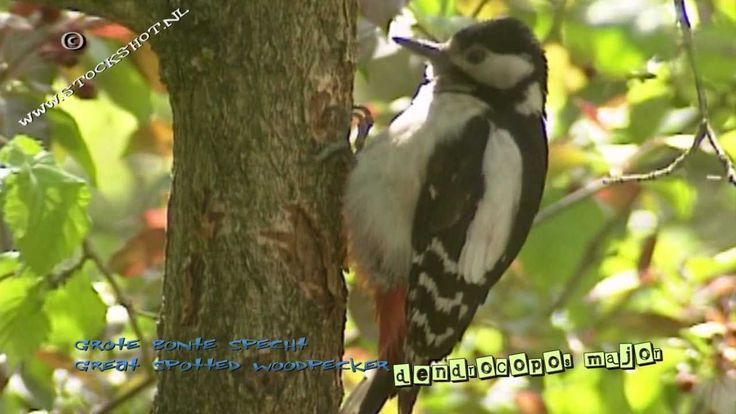 Looking for broadcast footage? Don't shoot! Contact http://www.stockshot.nl/ © The great spotted woodpecker is the commonest of the black-and-white woodpecke...