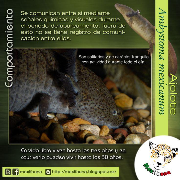 Ajolote (Ambystoma mexicanum): MAYOR INFORMACIÓN: COMPORTAMIENTO http://mexifauna.blogspot.mx/2014/08/ajolote-ambystoma-mexicanum.html
