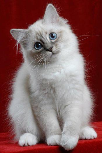 Il gatto Sacro di Birmania