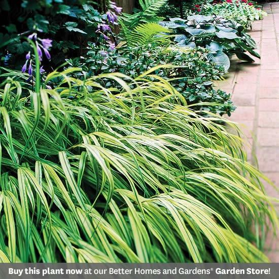 Japanese Forestgrass good in shade: Gardens Ideas, Shades Plants, Macro Hakonechloa, Japanese Forestgrass, Ornaments Grass, Forests Grass, Japan Forestgrass, Shades Gardens, Hakon Grass