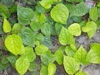 Rahasia Tanaman Herbal : Tanaman Herbal Daun Sirih