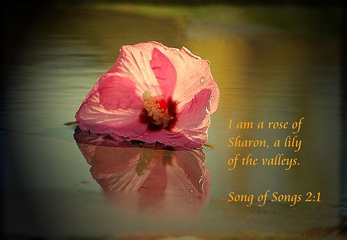 rose of sharon biblical meaning | Am a Rose of Sharon...