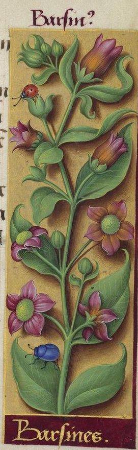 """""""Barsines - Barsin?"""" (Atropa belladona L. = belladone), Grandes Heures d'Anne de Bretagne, BNF, Ms Latin 9474, 1503-1508, f°237r"""