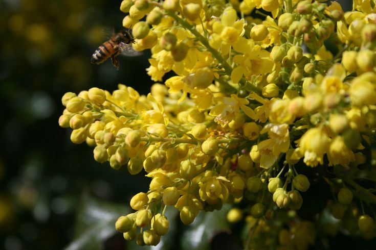OREGON GRAPE  Berberis spp.