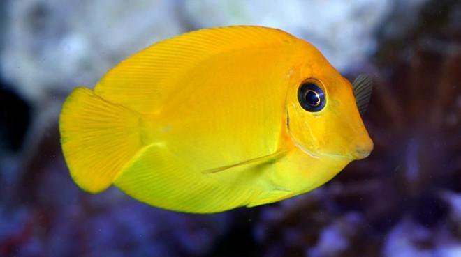 Buy Mimic Tang Online Saltwater Aquarium Fish And Coral Vivid Aquariums Saltwater Aquarium Fish Fish Saltwater Aquarium